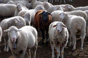 Black_sheep-minutelyinfinite